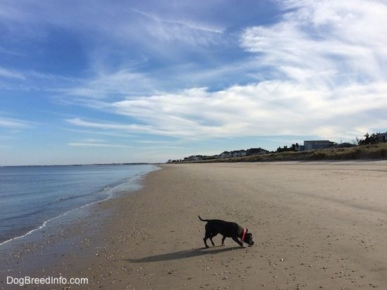 A blue nose American Bully Pit is walking across a beach. There is a body of water behind her.