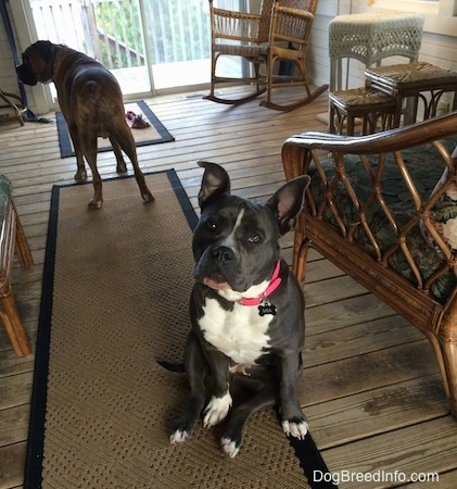 A blue nose American Bully Pit is sitting on a tan throw runner rug on a hardwood floor. Behind her is a brown brindle Boxer.