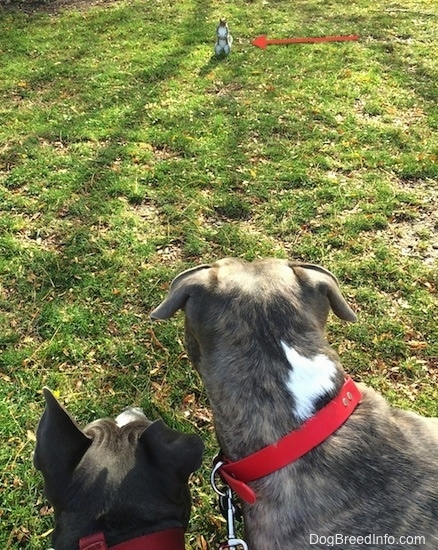 The back of two dogs that are looking at a squirrel. There is a red arrow pointing to the squirrel who is in front of them in grass.