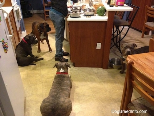A person is standing at a kitchen island preparing food for the four dogs that are waiting near her. There is a watermellon on the countertop