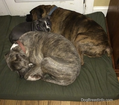 A small Bully Pit puppy is in-between a blue nose Pit Bull Terrier who is curled up and a brown brindle with black and white Boxer on a green dog bed pillow.