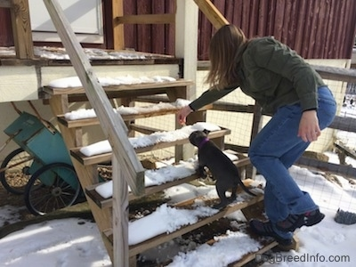 A person is holding a snack in front of a blue nose American Bully Pit puppy to lead her up a snowy staircase.