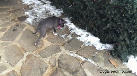 A blue nose American Bully Pit puppy is walking across a stone porch to a bush.
