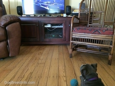 A small gray American Bully Pit puppy is laying on a hardwood floor looking up at a television in a living room. There is a blue tennis ball next to her.