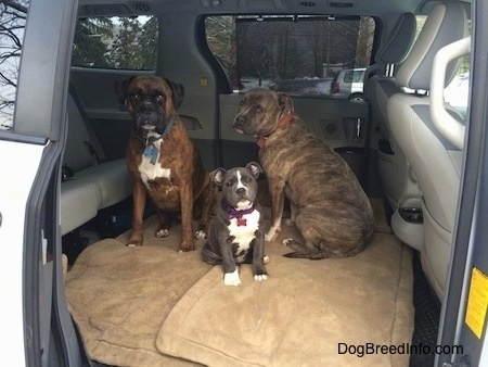 Two dogs and a puppy are sitting on dog beds in the middle section of a mini van that has the middle seats removed