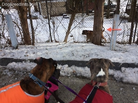 The backs of Two dogs and a puppy in different color vests that are standing in a street and looking through a fence at another dog.