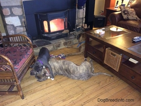 A sleeping blue nose Pitbull Terrier is getting jumped on by a blue nose American Bully Pit. They are in front of a lit fireplace. Laying in near the fireplace is a brown with black and white Boxer.