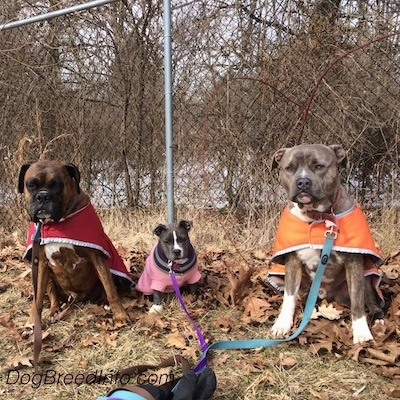 A brown with black and white Boxer that is wearing a red vest is sitting next to a blue nose American Bully Pit puppy that is wearing a pink sweater, and a blue nose Pit Bull Terrier that is wearing an orange vest are sitting in grass and behind them is a chain link fence.