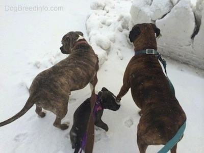 The backside of two dogs and a puppy looking around in snow with a deep snow plow wall in front of them.