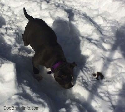 A blue nose American Bully Pit puppy is sniffing a path in snow and to the right of her is a pile of poop.