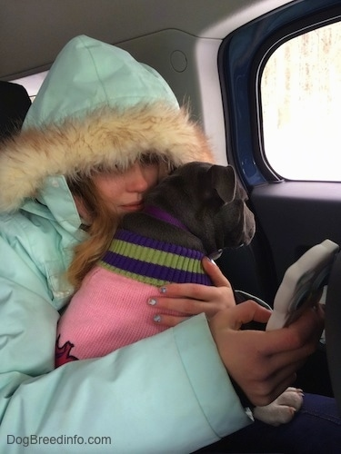 A person in a light blue coat is sitting in the backseat of a vehicle and she has a phone in her hand. In her lap is a blue nose American Bully Pit puppy wearing a pink sweater.