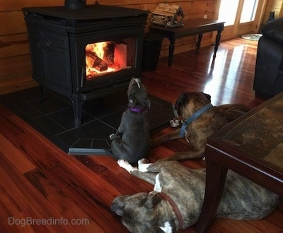 A blue nose American Bully Pit is sitting on a floor in front of a fireplace with her head up in the air like she is heating up her neck. Next to her is a black with brown and white Boxer that is laying down. Behind them laying on his side is a blue nose Pit Bull Terrier.