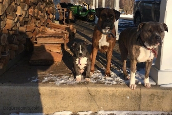A blue nose American Bully Pit puppy, a brown with black and white Boxer and a blue nose Pit Bull Terrier are on a stone porch and to the left of them is a pile of logs. There is a John Deere tractor behind them.