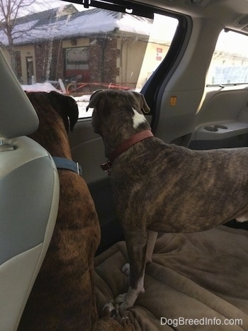 The back of a brown with black and white Boxer and a blue nose Pit Bull Terrier are in the backseat of a van that has the middle seats removed and are looking out of the passenger side window.