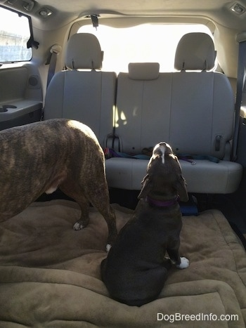 A blue nose American Bully Pit puppy is sitting on a dog bed in the middle section of a mini van looking up towards the roof smelling the air.