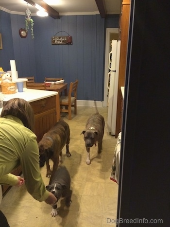 A person in a green shirt is bending over and a blue nose American Bully Pit puppy is eating a snack out of the persons hand. There are two larger dogs moving closer to the person.