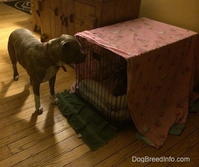 A blue nose American Bully Pit puppy is laying inside of a crate and outside of the crate is a blue nose Pit Bull Terrier looking at the puppy inside of it.