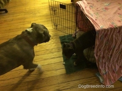 A blue nose American Bully Pit puppy is walking out of a dog crate with an older dog walking towards her.