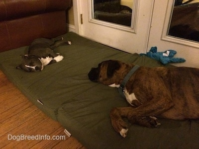 A blue nose American Bully Pit puppy and a brown with black and white Boxer puppy are sleeping on two big green orthopedic pillows in front of a door.
