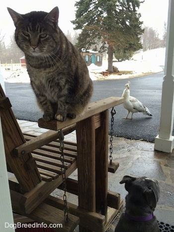 A cat is sitting on the arm of a wooden porch glider chair swing with a blue nose American Bully Pit puppy sitting next to it on a stone porch. There is a Peahen standing on a blacktop surface in the background.