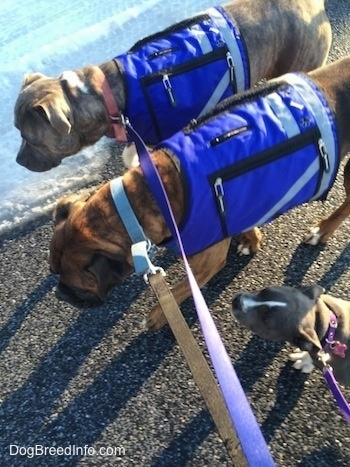 Two dogs in blue vests are walking across a blacktop surface with snow on it being followed by an American Bully Pit puppy.