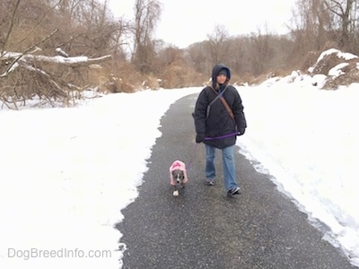 A person in a large coat is leading a blue nose American Bully Pit puppy in a pink jacket on a walk down a blacktop surface pathway that has snow on both sides.