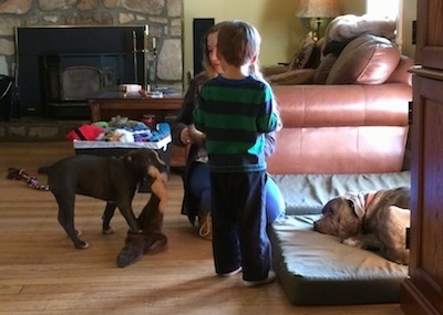 A blonde haired girl is kneeling in front of a boy wearing a green and blue shirt. A blue nose American Bully Pit puppy is dragging a toy in her mouth. There is a blue nose Pit Bull Terrier laying down on an orthopedic dog bed next to them.
