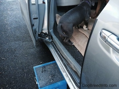 A blue nose American Bully Pit puppy is standing inside the back of a van.