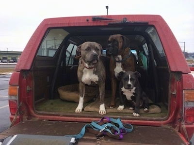 Two Dogs and a puppy are sitting and standing in the back of a red Toyota 4runner truck.