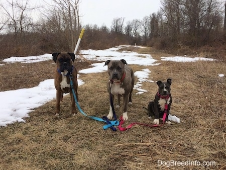 A brown with black and white Boxer and a blue nose Pit Bull Terrier are standing in grass and next to them is a sitting blue nose American Bully Pit puppy. They are all looking forward. There are snow patches on the ground.
