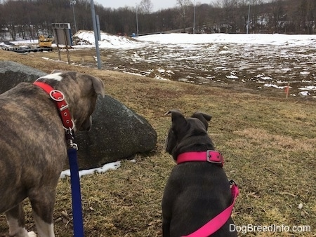 The backside of a blue nose American Bully Pit puppy and a blue nose Pit Bull Terrier. They are both looking at a large rock to the left of them.