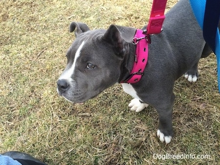 A blue nose American Bully Pit puppy is wearing a hot pink collar and leash standing outside in the grass.