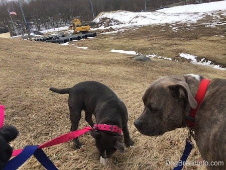 A blue nose American Bully Pit puppy is sniffing a rock that is under her. Looking to the left is a blue nose Pit Bull Terrier. There is a field with large black drain pipes and a yellow crane in the distance.