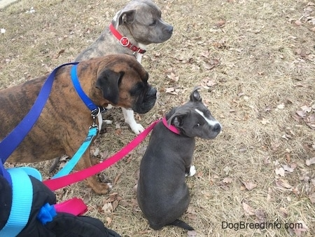 A blue nose AMerican Bully Pit puppy is sitting in grass and looking up and back. To the left of her, a blue nose Pit Bull Terrier is looking to the right and next to him is a standing brown with black and white Boxer