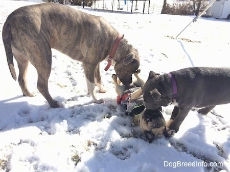 A blue nose Pit Bull Terrier and a blue nose American Bully Pit puppy are sniffing a tan with black Pug that is laying outside belly up in snow.