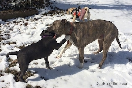 A blue nose American Bully Pit puppy is pawing at a blue nose Pit Bull Terrier. The Pit Bull Terrier is biting the puppy. They are outside in snow. There is a tan with black Pug behind them.