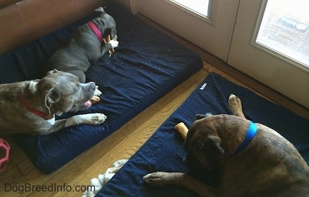 Two dogs and a puppy are laying on blue orthopedic dog bed pillows and chewing on dog bones in front of a glass door.