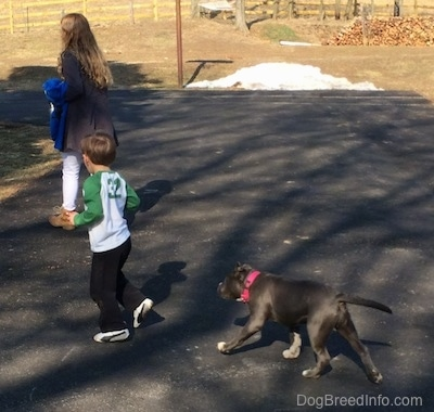 A blonde haired girl and a boy in a white with green shirt are walking across a blacktop and there is a blue nose American bully Pit puppy running behind them.