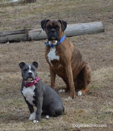 A brown brindle with black and white Boxer and a blue nose American bully Pit puppy are sitting in grass and looking forward. There is a log behind them.