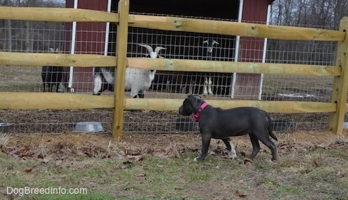 A blue nose American Bully Pit puppy is looking through a wooden split rail and wire fence at the goats who are on the other side.