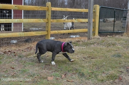 A blue nose American Bully Pit puppy is walking away from a wooden and wire fence.