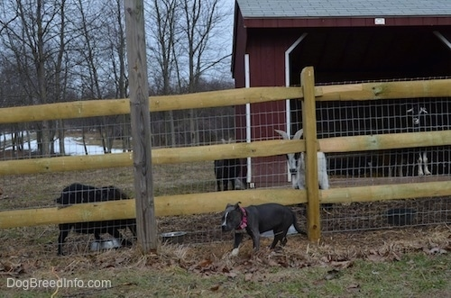 A blue nose American Bully Pit puppy is walking away from a wooden and wire fence that has goats on the other side.