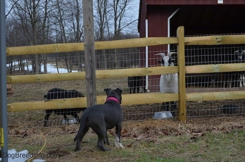 The back of a blue nose American Bully Pit puppy is looking at a Goat through a wooden and wire fence.