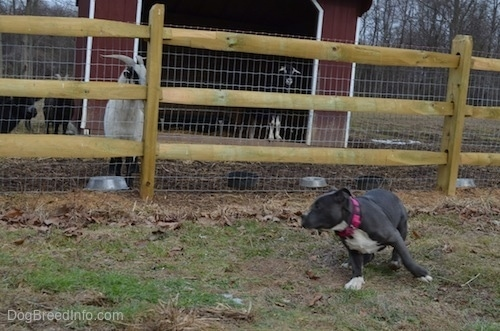 A blue nose American Bully Pit puppy is running in a circle in front of a wooden split rail and wire fence.
