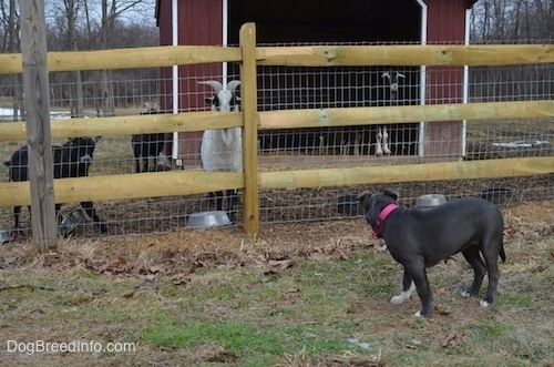 A blue nose American Bully Pit puppy is standing in grass and looking through a wooden and wire fence at a herd of goats.