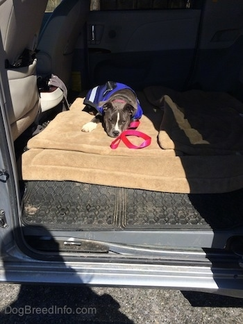 A blue nose American Bully Pit puppy is wearing a blue vest and she is laying down on a dog bed in the back of a mini van that has the middle seats removed.