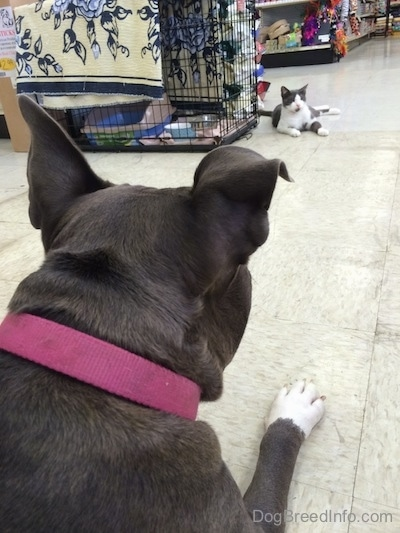 The back of a blue nose American Bully Pit that is laying on a tiled floor in a pet store. The dog is looking at a cat that is laying across from her.