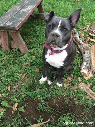 A blue nose American Bully Pit is sitting in front of a freshly dug hole in the lawn. She has dirt all over her nose. One of her ears is standing up and the other is flopped over. There is a pile of wood next to her.