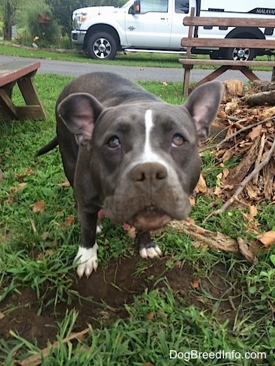 A blue nose American Bully Pit is standing in front of a hole that she dug outside in the grass next to a pile of wood. There is dirt all over her face.