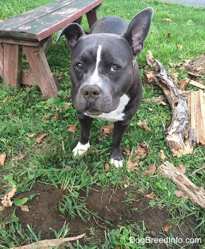 A blue nose American Bully Pit is standing in grass, in front of a hole and she is looking forward. Her right ear is lifted up and she has dirt all over her nose. There is a wooden bench behind her.